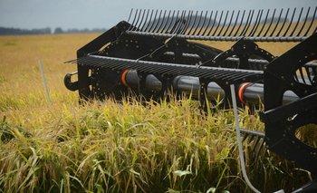 Este año la cosecha de arroz se realiza en unas 143 mil hectáreas.