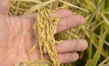 El área de siembra se estimó en poco más de 140 mil hectáreas.