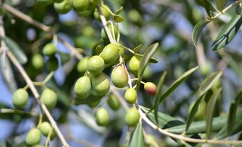 Proyectan una buena cosecha de oliva para 2021