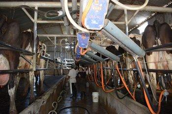 Producción de leche en tambos de Uruguay.
