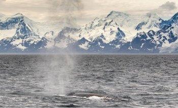 Una ballena azul del Antártico emerge frente a las Islas Georgias del Sur.