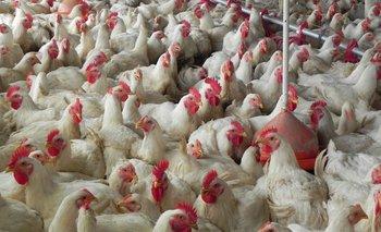 Galpón de cría de pollos