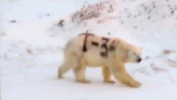 Esta imagen de un oso polar con una letra y números pintados en negro sobre su cuerpo despertó la preocupación de los científicos