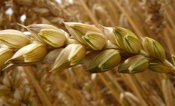 Espiga de trigo.