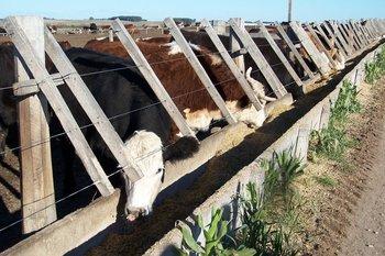 Alta participación de ganados de corral en la faena vacuna.
