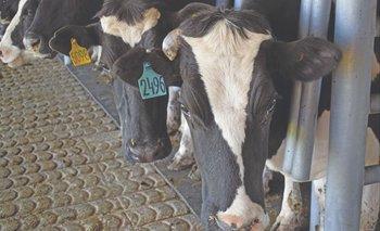 Vacas de la raza Holando en sala de ordeñe.