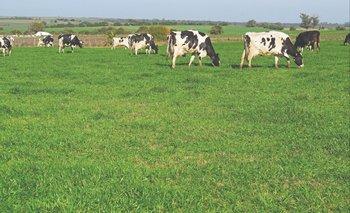 Vacas Holando en pastoreo.