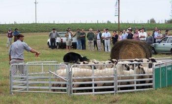 Border Collie manejando ovinos, un clásico en cada Expoactiva