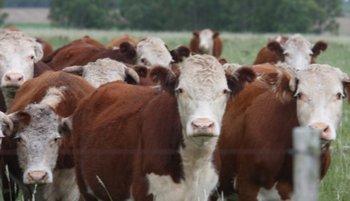 La demanda por hacienda gorda está muy firme, dijo Fernando Indarte, director de Indarte & Cía.