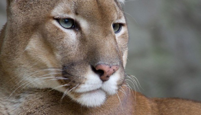 The Return of Pumas to Uruguay
