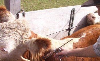 El MGAP extendió un conjunto de exigencias para los productores que vayan a vacunar a sus bovinos.