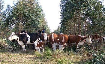 Un ejemplo de convivencia de forestación con ganadería.