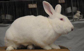 El mejor de los 204 conejos calificados en la Rural