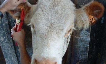 Para la identificación cada bovino debe tener dos caravanas de identificación individual que sean independientes y a la vez complementarias