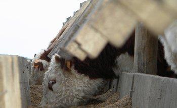 La carne de animales engordados a granos es considerada de alta calidad