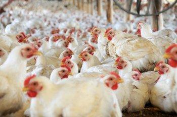 El kilo de pollo de contrabando se vende a $ 15 menos que el legal