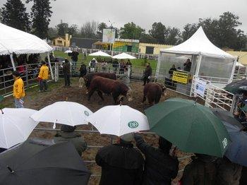 El año pasado Daniel Dutra remató bajo lluvia y el precio promedio fue el más alto de la zafra