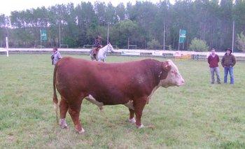 El toro Copa de Honor expuesto por cabaña Valle Chico, de Bonomi Hnos