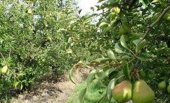 La producción de pera está en riesgo.<br>