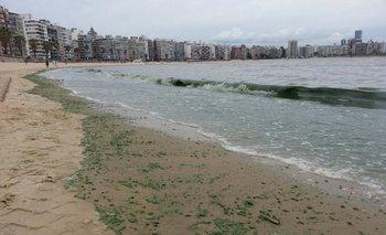Cianobacterias en la playa Pocitos. Archivo.