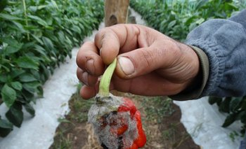 Las condiciones climáticas generan dificultades en las plantas y hay pérdidas de flores y frutos.<br>
