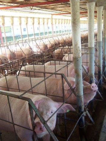 Cerdos y pollos se alimentan con granos de mayor calidad.<br>