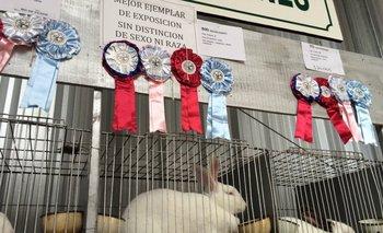 El conejo de la cabaña Luna de Agosto en la zona de los mejores ejemplares de la muestra.<br>