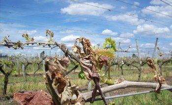 Los daños fueron de diversa magnitud y varían mucho de un viñedo a otro.<br>