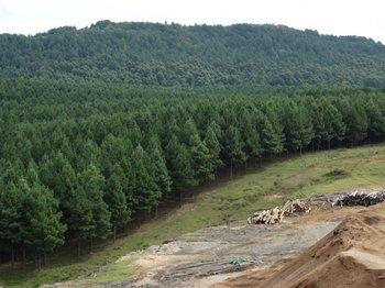 La producción de pino es excedentaria en Uruguay
