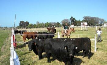 Más de la mitad de los toros vendidos fueron de la raza Angus<br>