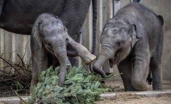 Los elefantes del zoológico de Praga reciben los árboles de Navidad que no fueron vendidos.