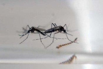 El MSP retoma acciones para prevenir expansión del mosquito.  AFP