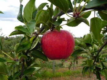 Se espera una cosecha de manzana caracterizada por un elevado volumen.<br>