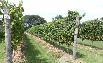Las primeras cosechas fueron de uvas destinadas al consumo como fruta.<br>