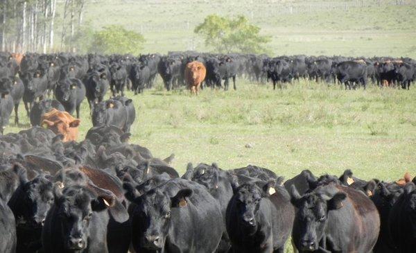 Uruguay a un paso de importar ganado en pie desde Brasil