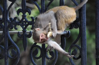 Un mono toma agua de una canilla un día de calor en India