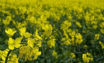 Se estima que a fines de octubre comience la cosecha de colza.