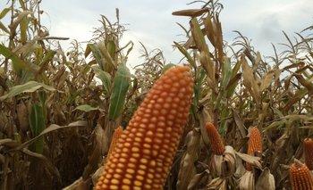 El 26% del maíz plantado en el mundo en 2016 fue transgénico<br>