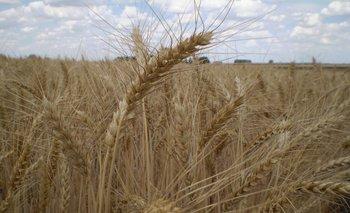 El área de trigo, por precios bajos, volverá a descender.<br>