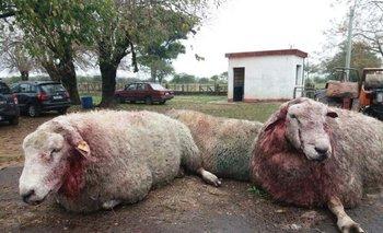 Testimonio gráfico del ataque a los carneros del centro de estudios en Paysandú