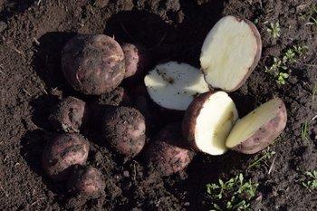 Hubo cosecha y análisis detallado en cada uno de los 13 cultivares.
