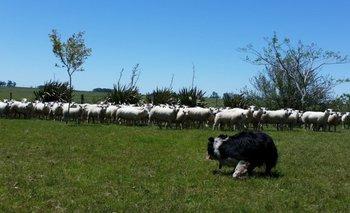 Un perro Border Collie cuida a un grupo de ovejas en el campo<br>