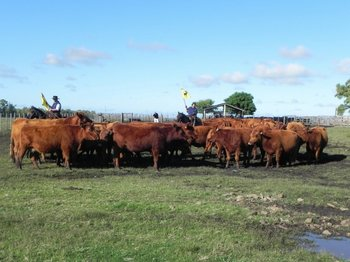 Con solo una vacuna de por vida se arregla el problema de la tristeza parasitaria en bovinos
