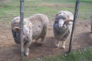 Carneros de la raza Merino Australiano.