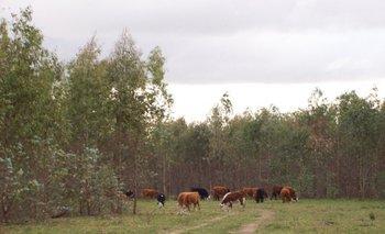 La forestación mitiga las emisiones de metano del ganado vacuno<br>
