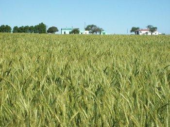Los cultivos cerealeros necesitan, con urgencia, días secos y soleados.<br>
