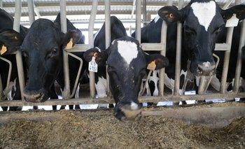 Vacas lecheras en un tambo.