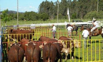 Los toros se venderán con 45 días de seguro total, de vida y de capacidad reproductiva