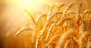 La producción de trigo en Uruguay sigue en caída<br>