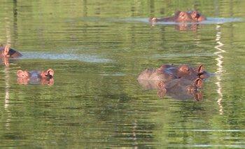 Hipopótamos de la hacienda Nápoles